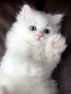 Lindos olhos azuis desse gatinho persa.