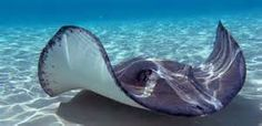 Snorkelling and swimming with stingrays at Dive Tatapouri in Gisborne, New Zealand, gets you up close and personal with these majestic creatures. Origin Of Species, Eagle Ray, Local Legends, Snorkelling, Ocean Life, Marine Life, Ecology, Trees To Plant, Nature