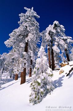 ☀Rime ice and fresh powder on Ponderosa pines, Los Padres National Forest, California USA ~ © Russ Bishop* Best Landscape Photography, Nature Photography, Frazier Park, Los Padres National Forest, Winter Magic, Winter Photos, California Love, Winter Beauty, Science And Nature