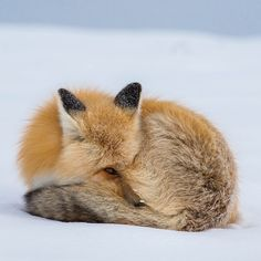 """537 k mentions J'aime, 2,758 commentaires - National Geographic (@natgeo) sur Instagram : """"By @drewtrush // A red fox tries to stay warm as the temperature dips well below freezing. The red…"""""""