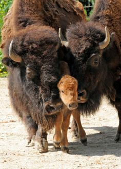 Bison Calf And Family | Cutest Paw