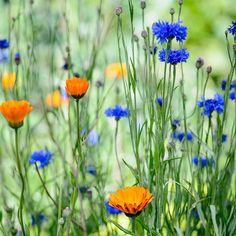 If youre after quick low-maintenance colour hardy annuals like these cornflowers and calendulas are a good option. To top it off theyre brilliant for pollinators. : @jasoningram