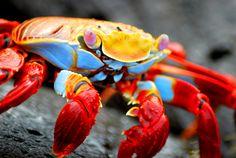Day 5: Sally lightfoot crab, Puerto Ayora, Santa Cruz Island, Galapagos Islands (Ecuador)