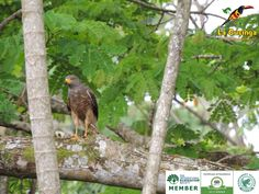 Hawk at La Cusinga Lodge