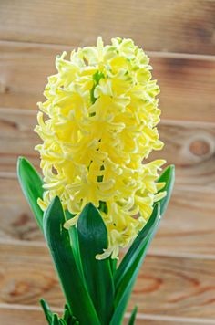 yellow hyacinthus orientalis garden hyacinth flowers bulb wooden