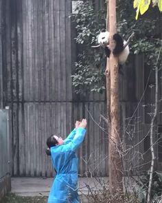 Baby panda🧸 #cute #baby #panda Panda Video, Panda Gif, Panda Bear, Baby Panda Pictures, Animal Pictures, Cute Funny Quotes, Funny Cute, Funny Babies, Cute Babies