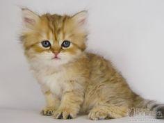 かわいいペルシャ猫 | チンチラゴールデン 子猫 04-01