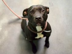 TO BE DESTROYED - 12/04/14 Manhattan Center -P My name is KIARA. My Animal ID # is A1021130. I am a female black and white am pit bull ter. The shelter thinks I am about 3 YEARS old. I came in the shelter as a RETURN on 11/27/2014 from NY 11214, owner surrender reason stated was PETS CONFL. https://www.facebook.com/Urgentdeathrowdogs/photos/a.611290788883804.1073741851.152876678058553/909986155680931/?type=3&theater