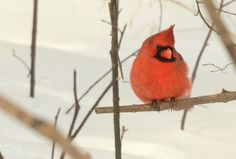 """Beautiful images of Cardinals in winter ... and a blog post """"Do Birds Shiver When It Is Cold?"""" on Garden Walk, Garden Talk"""