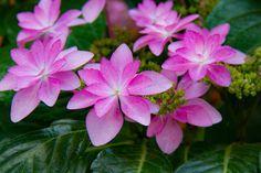 #hydrangea #flower #flowers #ig_flowers #superb_flowers #FlowerStalking #wp_flower #floral_splash #igscflowers #紫陽花
