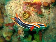 Nudibranch, courtesy of Marine Education Society of Australasia