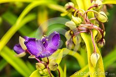 Close up of violet Tradescantia virginiana flower.