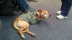 Shes a military dog named Faith, who was born like that. She goes to veterans to inspire them to not give up and keep on going.