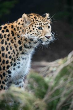 """One of my favorite """"big cats"""" - Amur Leopard"""