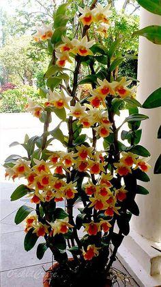 Hoa Lan thạch hộc hoàng lê minh, tên dòng lan lai theo thị trường là Dendrobium Frosty Dawn - Tên khoa học: Dendrobium hybird được lai tạo từ 3 loại lan sau 25% Dendrobium formosae, 50% Dendrobium cruentum, và 25% Dendrobium scabrilingue