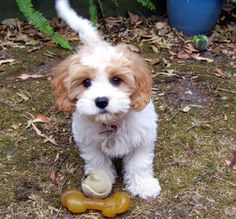 Cavachon...cute, maybe this cut could work on my cavapoo, short around the eyes