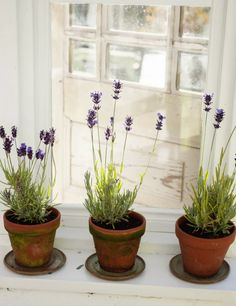 This is how I need to pot the lavender cuttings.