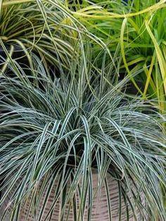 Carex Everest -- evergreen, tolerates shade