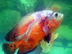 Resultado de imagem para peixes coloridos