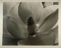 Magnolia Blossom  Artist:  Imogen Cunningham  Date:  1925 printed 1930  Location:  Not on display  Century:  20th Century AD  Media:  Gelatin Silver Print