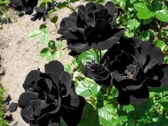rosas-negras-01
