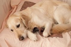 Cuidados com a cadela gestante