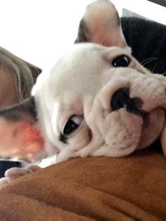 Ruth bulldog