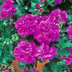 "Rosebud Geranium ""Blue Sybil"""