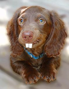 If rabbits and dachshunds mated....... | by Doxieone
