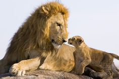 A 7-week-old lion cub meets his father for the first time