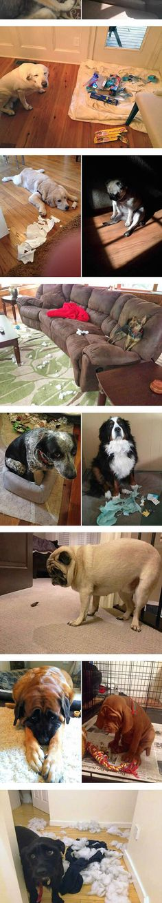 Guilty dogs. It's hard to be mad at those sweet faces