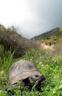 Testudo marginata - Epirus, Greece | Flickr - Photo by Thor Hakonsen