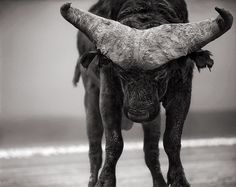 Buffalo with lowered head, photo by Nick Brandt.