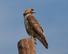 Red-tailed hawk, Fort Chaffee, Arkansas.