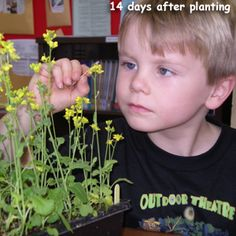These genetically engineered plants go through the entire plant cycle in 28 days. This is perfect for teaching kids about plants.