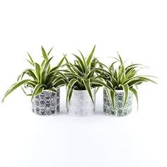 Christmas Spider Plant Gift Set - Trio of plants with Owl ceramic pots - Ideal small plant present for Christmas - Delivery in First week of December or Before - Chlorophytum Houseplant.