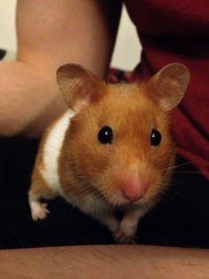 Daisy the escapist hamster