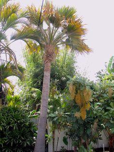 Pritchardia maideniana (aka affinis) Sullivan garden, Ventura, California Ventura California, Flora And Fauna, Palm Trees, Planets, Photos, Gardens, Palm Plants, Landscaping, Tropical Garden