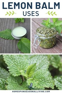 There are many uses for herbal lemon balm. Use it in both food and home remedies. Get great tips for the many different uses as well as find great recipes for it. Find out how to use this great herb so you can use it too. #herbalremedies #homeremedies #recipes #lemonbalm #herbs #howto Lemon Balm Recipes, Lemon Balm Uses, Herb Recipes, Healing Herbs, Medicinal Plants, Holistic Healing, Natural Medicine, Herbal Medicine, Herbs For Health