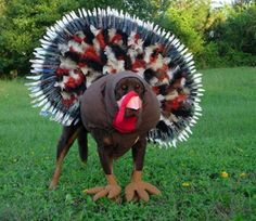 dogs dressed as spiders   Ready for Thanksgiving? This dog sure is. Is that a Doberman? It's ...