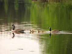 Kanadanhanhet ovat ottaneet Kyynäränharjun omakseen.  #liesjärvi #kansallispuisto #nationalpark #korteniemi #erärenki #retket Bird, Animals, National Forest, Animales, Animaux, Birds, Animal Memes, Animal, Animais