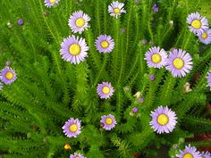 "Felicia echinata Asteraceae ""spiny felicia"""