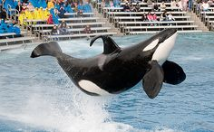 5 Reasons Blackfish is More Educational Than SeaWorld and why not to buy a ticket to www.seaworldofhurt.com