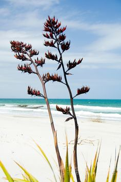 Flax flowers on a sandy white beach with blue sky and sea - NZ