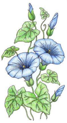morning glory coloring pages | morning glory: