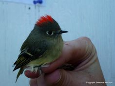A Ruby Crowned Kinglet songbird. The red feathers show it's a male. This was spotted at the Idaho Bird Observatory -- one of the finest places to observe wild songbirds, diurnal raptors and owls in the western U.S. Come take a tour and learn why... #garden #birds