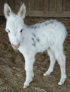 Wee Ones Joli Fille a miniature donkey newborn. Sweetness !