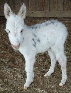Wee Ones Joli Fille a miniature donkey newborn. Sweetness !