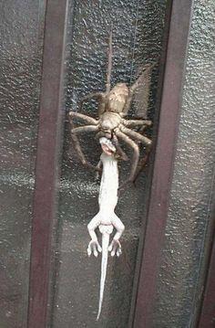 GIANT SPIDER (World's ...
