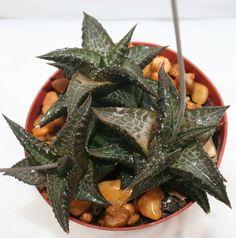 Haworthia Venosa Succulent 406 cacti Cactus Plant Non Variegated Aloe Gasteria | eBay